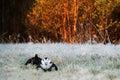 Lekking Black Grouses Royalty Free Stock Photo