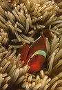 Lembeh strait tomato clown clownfish amphiprion frenatus is a clownfish Royalty Free Stock Photography