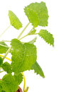 Lemon-balm Stock Photo