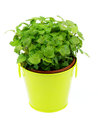 Lemon Balm Stock Image