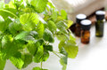 Lemon balm for aromatherapy treatment Royalty Free Stock Photo