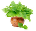 Lemon Balm Royalty Free Stock Photo