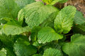 lemon balm in the garden Royalty Free Stock Photo