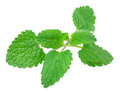 Lemon balm mint isolated on white background Royalty Free Stock Photo