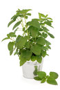 Lemon Balm Plant Royalty Free Stock Photo