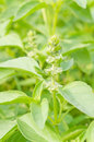 Lemon basil in the graden Royalty Free Stock Photos