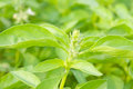 Lemon basil in the graden Royalty Free Stock Photo