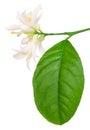 Lemon blossom Royalty Free Stock Photo