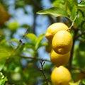 Lemon close up Stock Photos