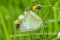 Lemon Emigrant butterfly (Catopsilia pomona) Royalty Free Stock Photography