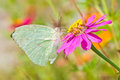 Lemon emigrant butterfly injury on pink flower Stock Images