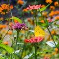 Lemon Emigrant Butterfly In Na...
