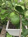 Lemon fruits Royalty Free Stock Photo
