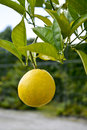 Lemon hanging in a lemon tree one big yellow on sunny day Stock Image