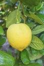 Lemon hanging on lemons tree Royalty Free Stock Photo