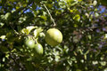 Lemon hanging from tree Royalty Free Stock Photo