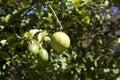 Lemon hanging from tree Royalty Free Stock Photo