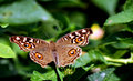 Lemon pansy Butterfly Royalty Free Stock Photo