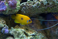 Lemon peel angelfish in reef aquarium swimming through live rock Stock Photos