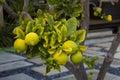 Lemon. Ripe Lemons Hanging on a Lemon tree. Growing Lemon Royalty Free Stock Photo