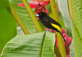 Lemon rumped tanager a beautiful black and yellow bird perching on banana leaves with pink flowers in background ecuador this bird Royalty Free Stock Photography
