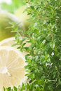 Lemon-Scented Thyme Stock Photo