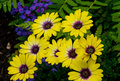 Yellow Daisy with Purple Center Royalty Free Stock Photo