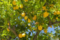Stock Photos Lemon tree