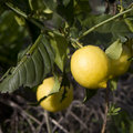 Lemon tree branch Stock Images