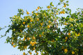 Lemon tree branch blue sky backgraund Royalty Free Stock Photography