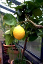 Lemon tree in a conservatory big piece is on the branch of the Stock Image