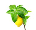 Lemon tree with fruit. Royalty Free Stock Photo
