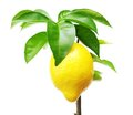 Lemon tree with fruit. Royalty Free Stock Photo