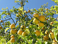 Lemon tree with fruits on branches Royalty Free Stock Images