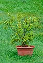 Lemon tree with fruits in a brown flower pot Royalty Free Stock Photo