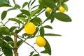 Lemon tree isolated on white background Royalty Free Stock Photo