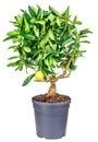 Lemon tree isolated on white Royalty Free Stock Photo