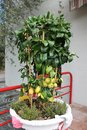 Lemon tree with ripe fruits in a flowerpot Royalty Free Stock Photo