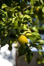 Lemon tree with lemons hanging on the branch Royalty Free Stock Photo