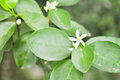 Lemon tree ,lime tree Royalty Free Stock Photo