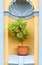 Lemon tree miniature with fruit arch architecture branch citrus Stock Photos
