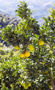 Lemon tree in the mountains of Lucena Royalty Free Stock Photo
