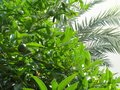 Lemon tree and palm tree leaves on the white sky background