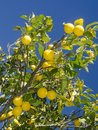 Lemon tree in a garden Royalty Free Stock Photo