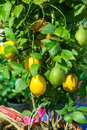 lemon tree in a pot with fruits, Royalty Free Stock Photo