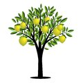 Lemon tree with ripe fruits Stock Photos
