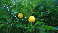 A lemon tree with two hanging lemons on it Royalty Free Stock Photo