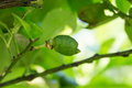 A lemon tree unripe Royalty Free Stock Photo