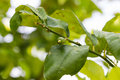 A lemon tree unripe Royalty Free Stock Photo