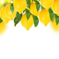 Lemon tree on a white background Royalty Free Stock Photo